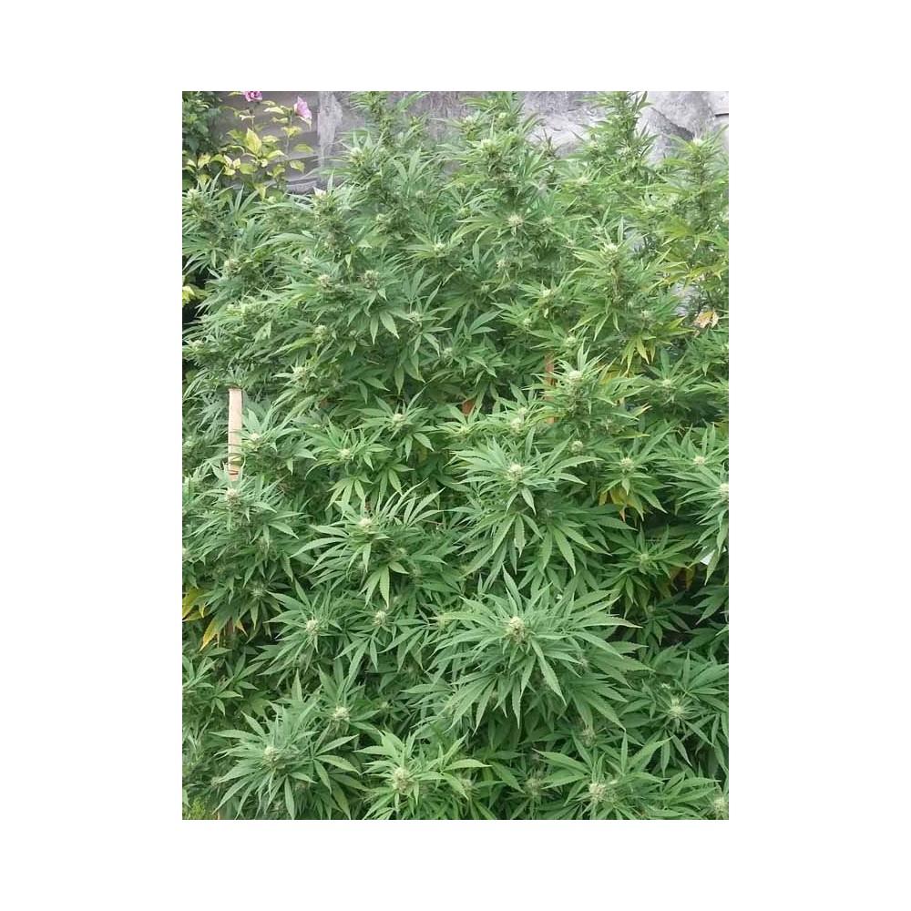 Jamaican Dream de Eva Seeds, graines de marijuana féminisées