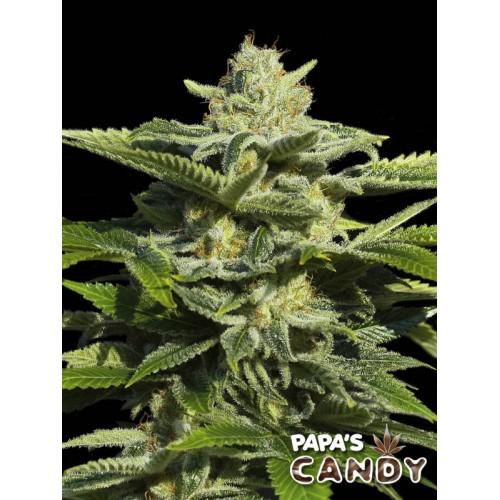 Papas Candy - Eva Seeds