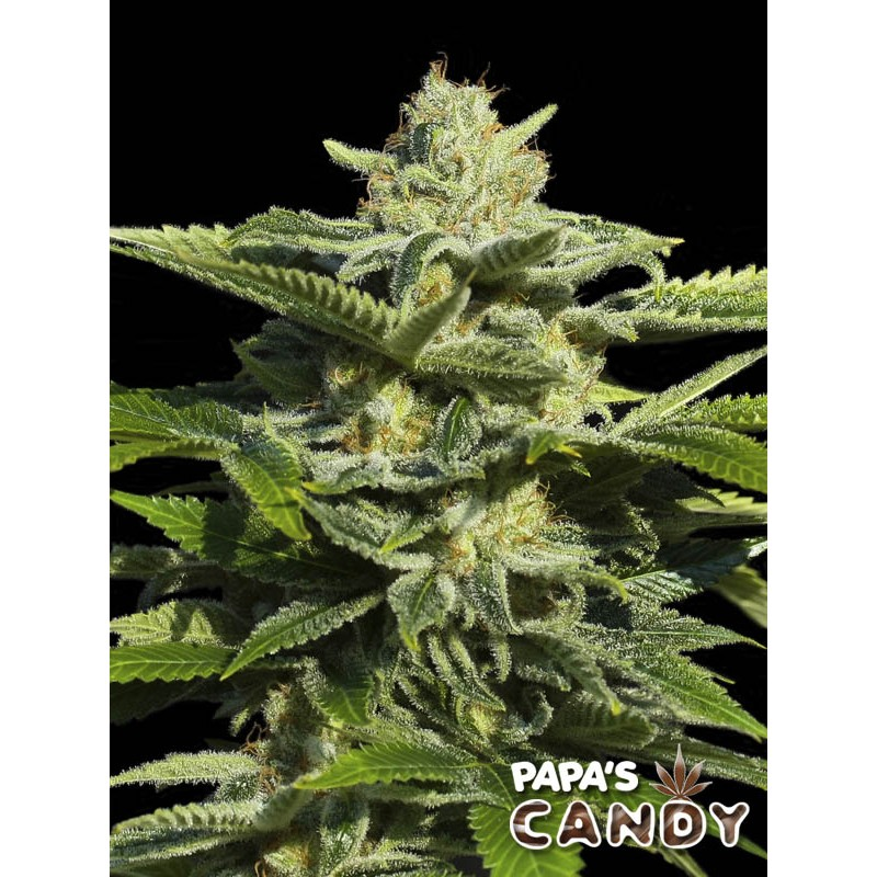 Papas Candy - Eva Seeds