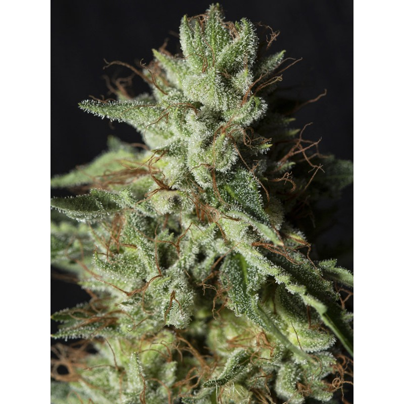 Gorilla Candy seeds by Eva Seeds