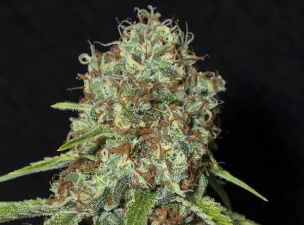 semillas jamaican dream cbd
