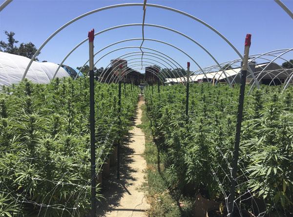 cannabis california
