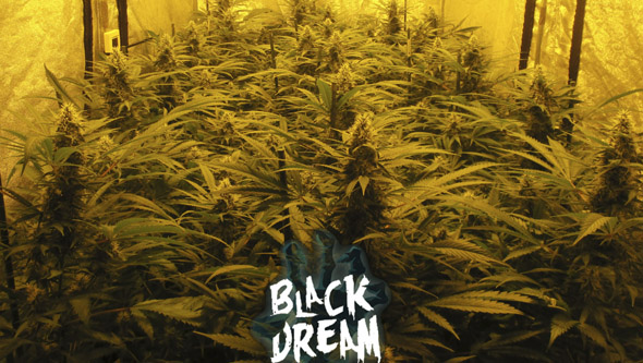 Cultivo de Black Dream floreciendo en interior