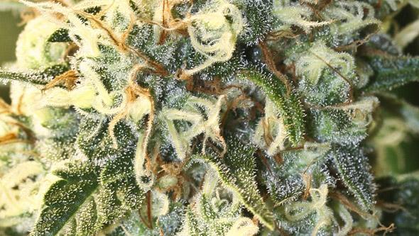 Jamaican Dream de Eva Seeds, variedad de marihuana sativa