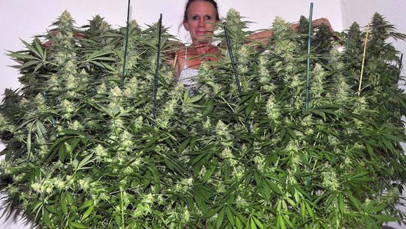 Jamaican Dream cultivadas en interior