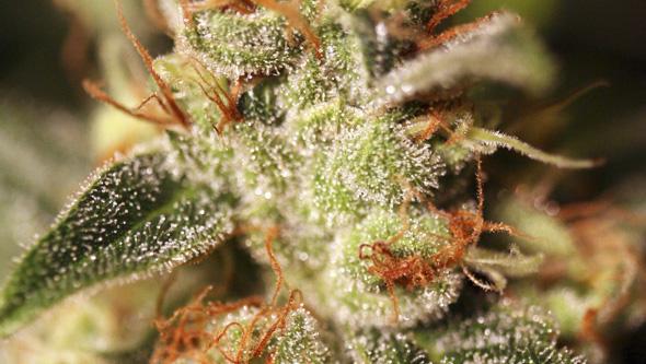Missing in barcelona de eva seeds marihuana feminizada - Cortar hierba alta ...