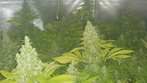 Monster seeds flowering in indoor crop