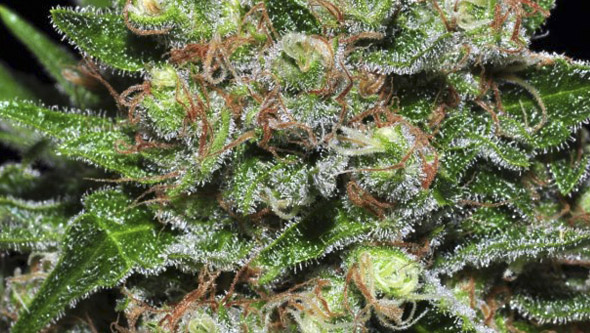 Vista macro de Veneno de Eva Seeds