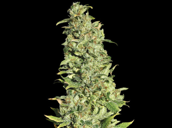 High Level - Eva Seeds