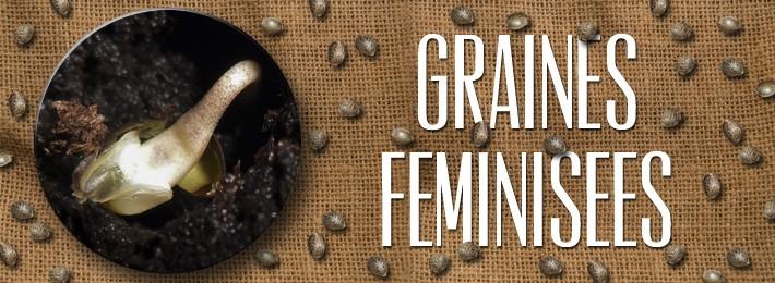 graines-feminisees/gipsy-haze